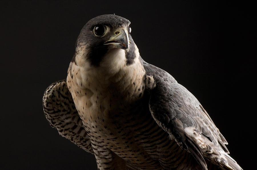 fa40eb7f A Portrait Of A Peregrine Falcon (falco Peregrinus.) by Joel Sartore