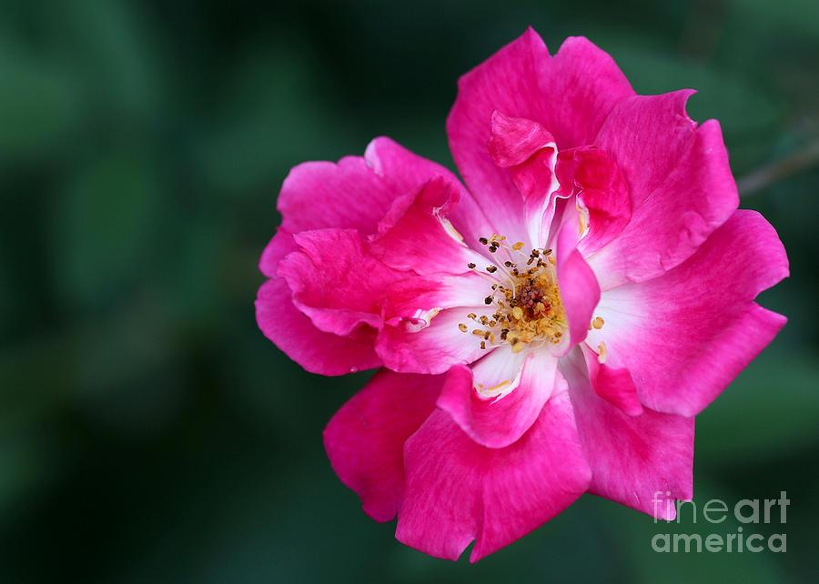 Macro Photograph - A Pretty Pink Rose by Sabrina L Ryan