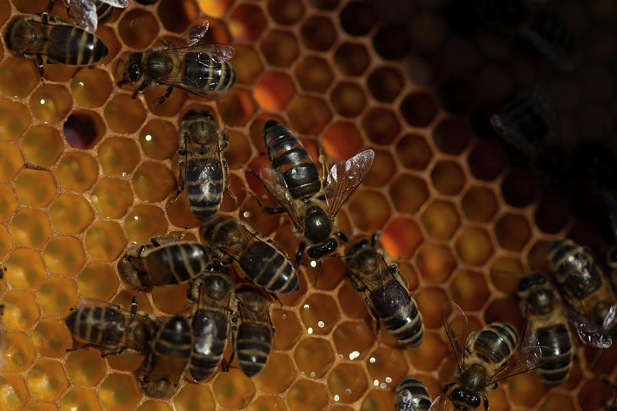 Worker Bees Photograph - A Queen Bee Walks In The Center by Chico Sanchez