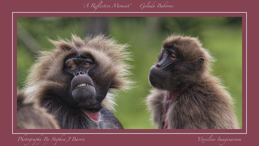 Gelada Baboons Photograph - A Reflective Moment    Gelada Baboons by Stephen Barrie