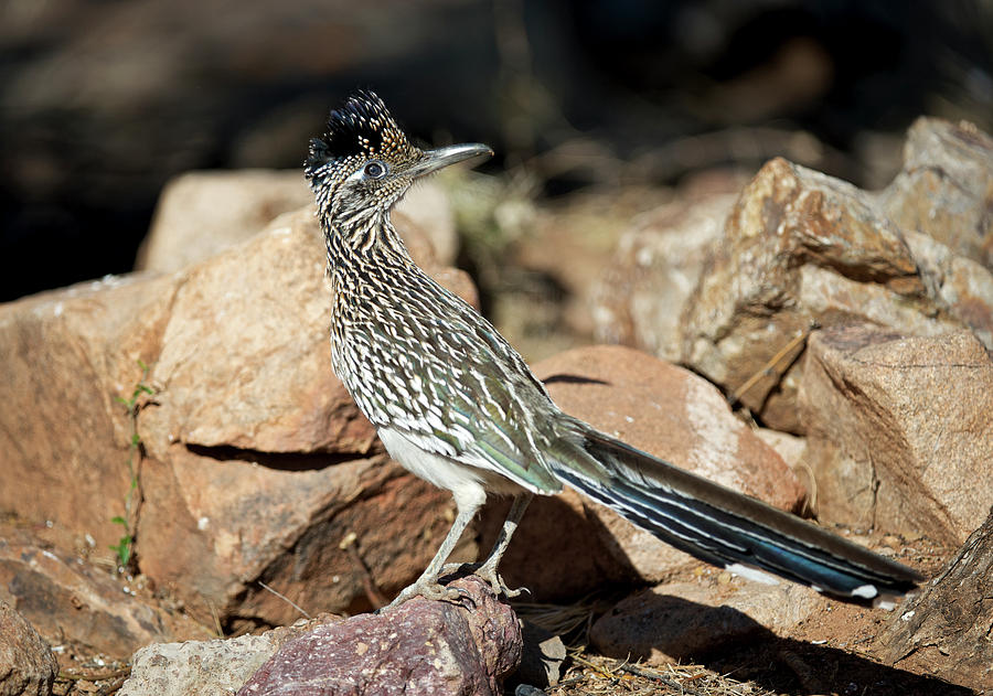 Arid Photograph - A Road Runner Pauses Momentarily by Richard Wright