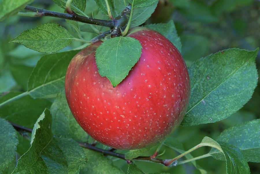 A rome Beauty Apple On A Tree. Photograph by Inga Spence