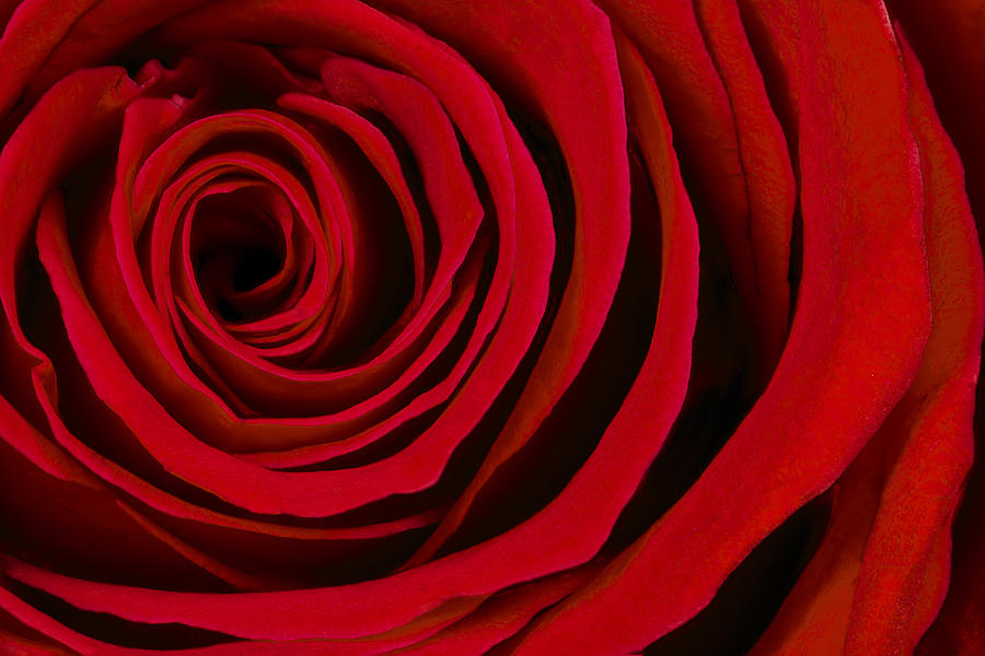 Abstract Photograph - A Rose For Valentines Day by Adam Romanowicz