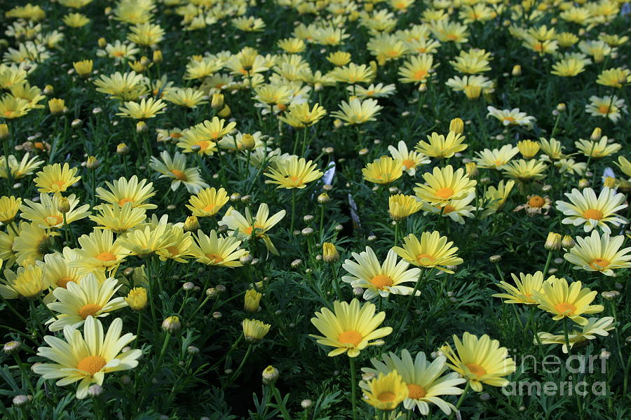 Flowers Photograph - A Sea Of Yellow Daisys by Kathy DesJardins