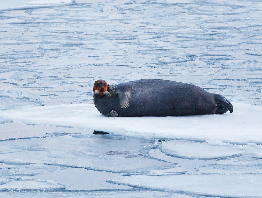 A Seal On The Ice Photograph by Håkon Kjøllmoen Photography