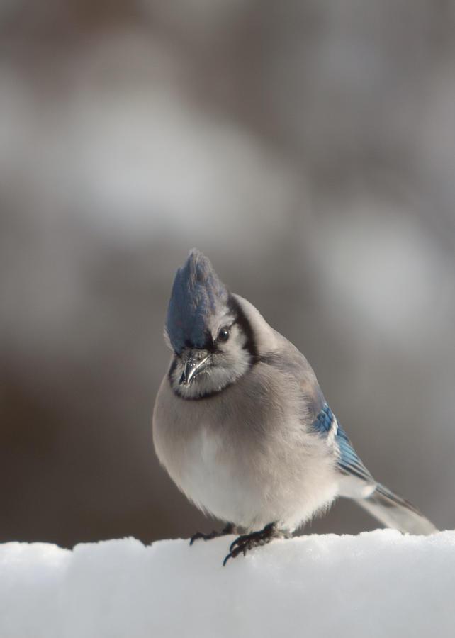 Salem Photograph - A Blue Jay Sits Waiting by Jeff Folger