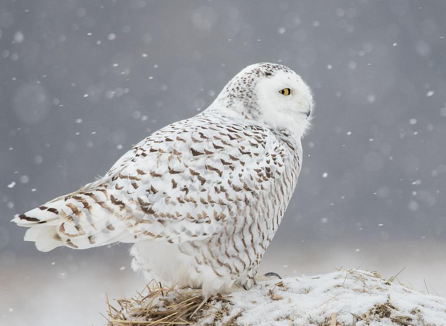 Snowy Photograph - A Side Portrait Of Snowy Owl by Ming H Yao