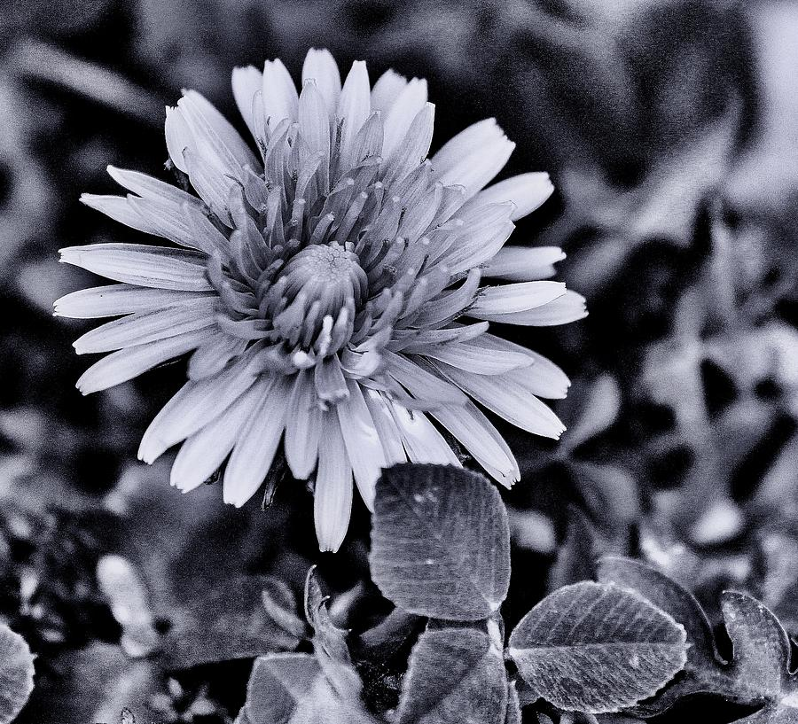 Daisy Photograph - A Simple Daisy by Edward Hamilton