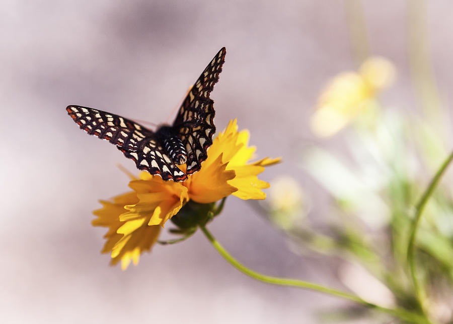 Butterfly Photograph - A Sip Of Coreopsis by Caitlyn  Grasso