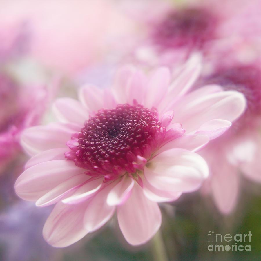 A Soft Pink Daisy Photograph