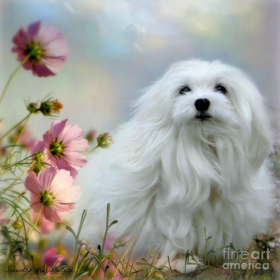 Maltese Dog Photograph - A Soft Summer Breeze by Morag Bates