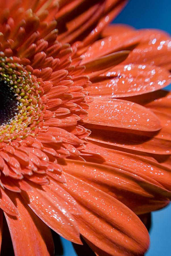 A Sparkling Gerbera Daisy  by Beverly Stapleton