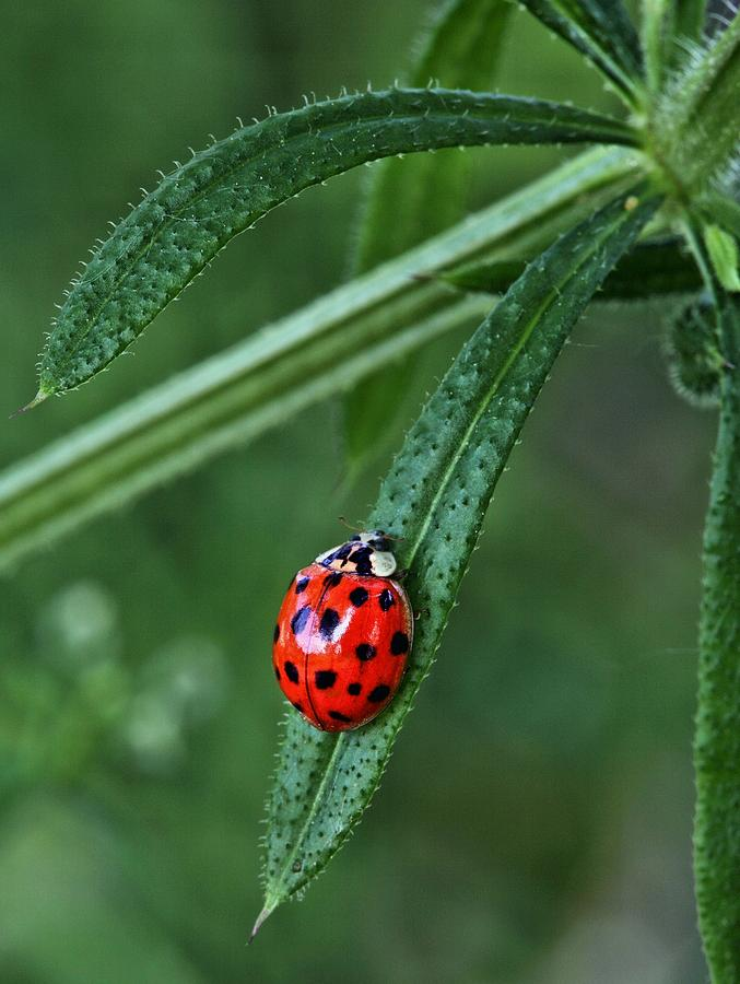 Ladybug Photograph - A Spot Of Red by JC Findley