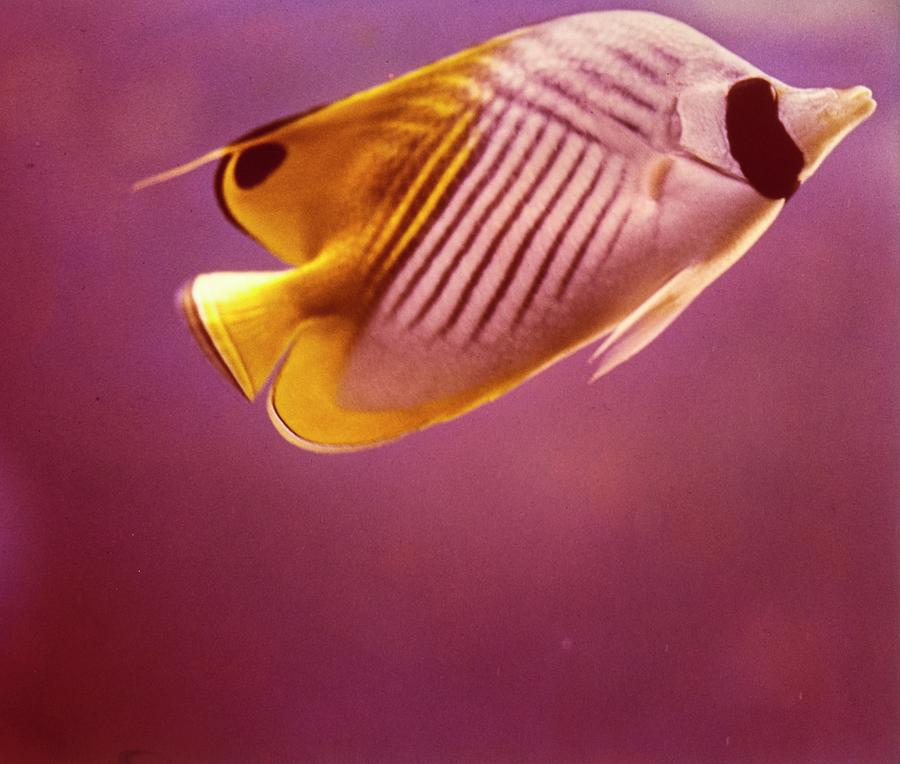 A Striped Butterfly Fish Photograph by Horst P. Horst