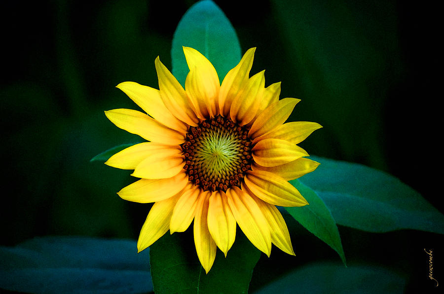 A Sunflower Named Stella by Gwyn Newcombe