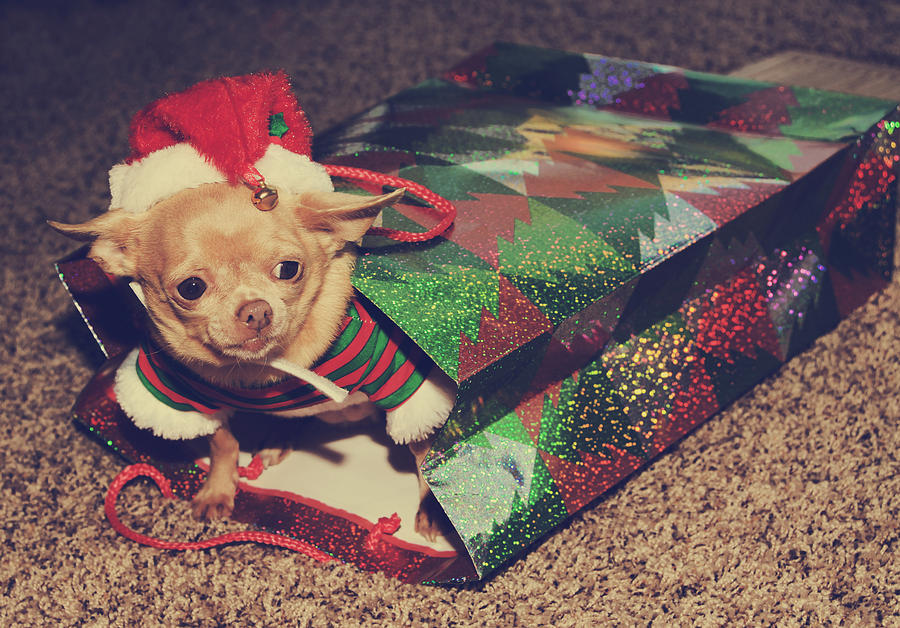 Dog Photograph - A Sweet Christmas Surprise by Laurie Search