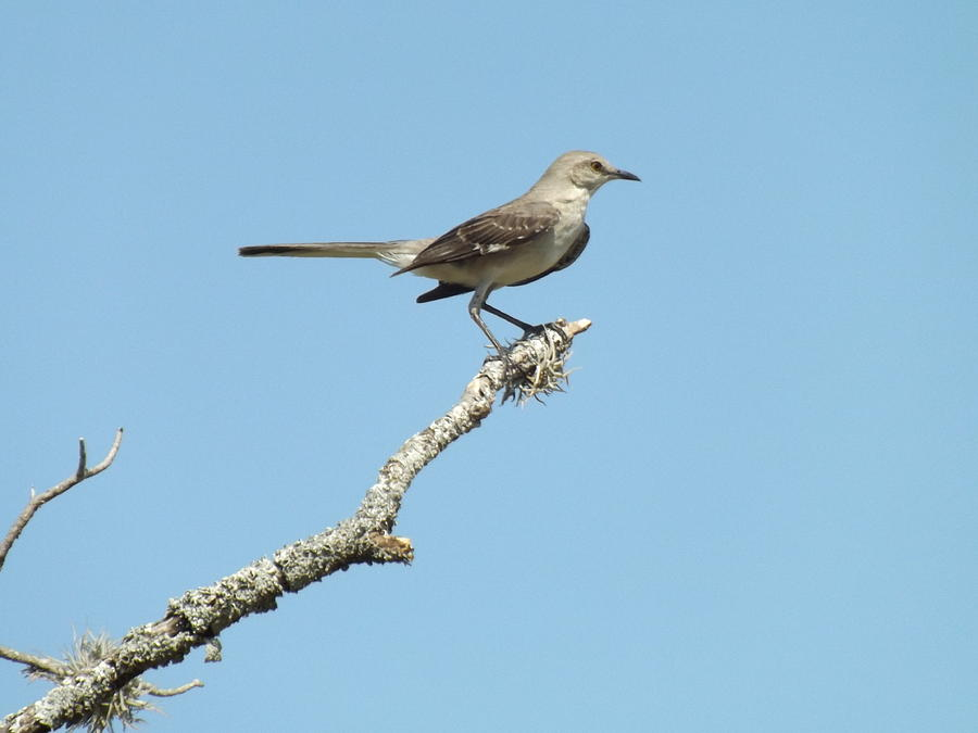 A Texas Mockingbird Photograph by Rebecca Cearley