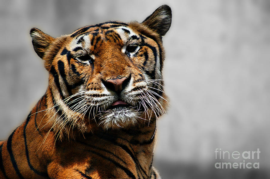 Tiger Photograph - A Tigers Look by Ben Yassa