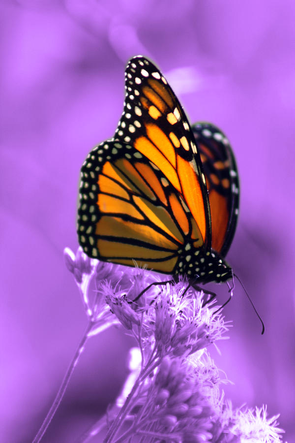 Monarch Butterfly Photograph - A Touch Of Summer  by Cathy Beharriell