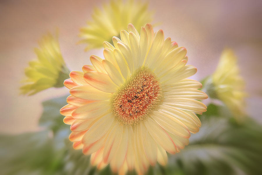 Gerbera Daisy Photograph - A Touch Of Sunshine by Fiona Messenger
