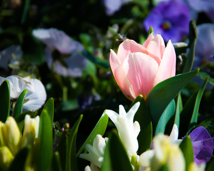 A Touch Of Tulip Photograph