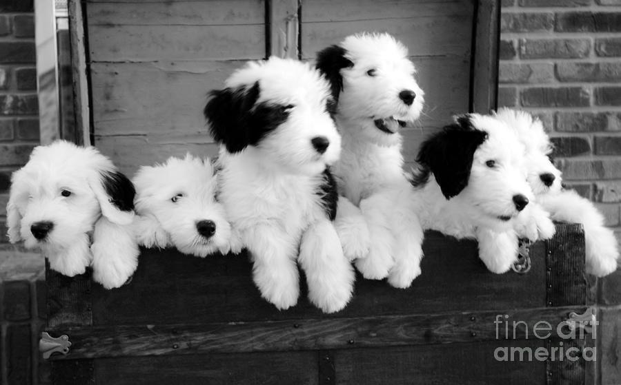 Sheepdog Photograph - A Trunk Full by Kathleen Struckle