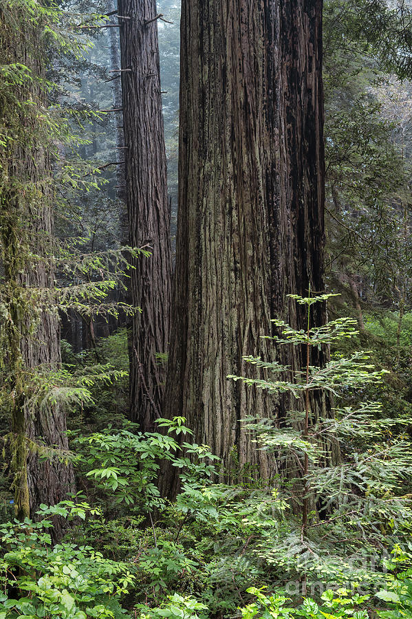 A View Into The Redwoods Photograph