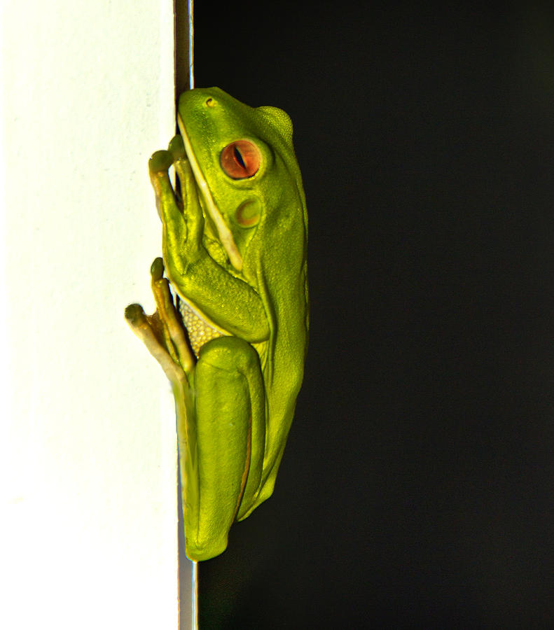 Tree Frog Photograph - A Visit From A Giant Tree Frog by Debbie Cundy