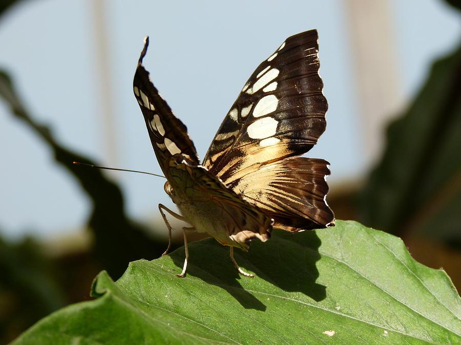 Butterflies Photograph - A Visitor by Janina  Suuronen