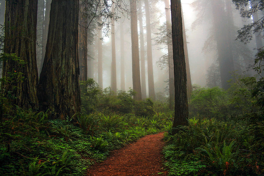 Redwoods Photograph - A Walk In The Fog by Pamela Winders