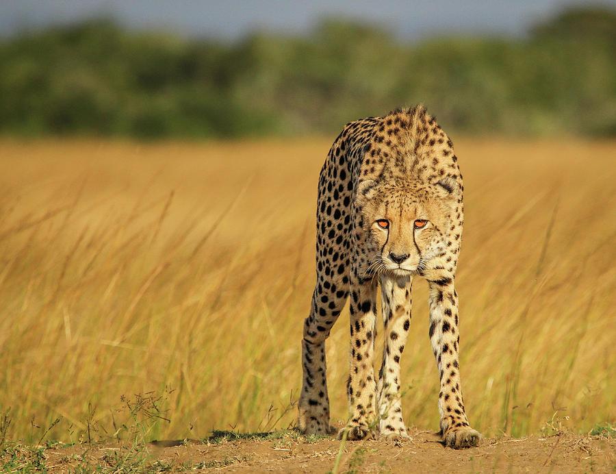 Cheetah Photograph - A Walk To Kill by Jaco Marx