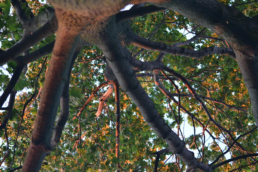 Tree Photograph - A Web Of Branches by Kiros Berhane