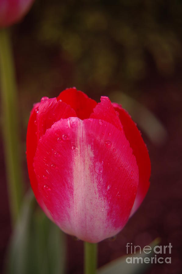 Flowers Photograph - A Wet Tulip by Jeff Swan