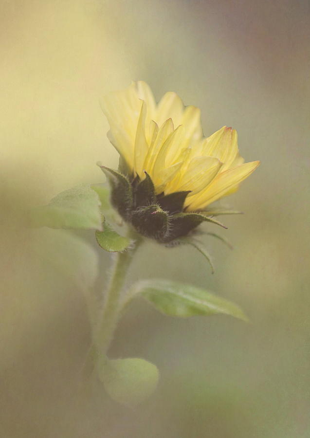 Sunflower Photograph - A Whisper Of A Sunflower by Angie Vogel