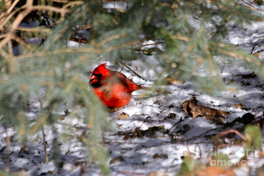 Cardinal Photograph - A Winters Day by Jay Nodianos