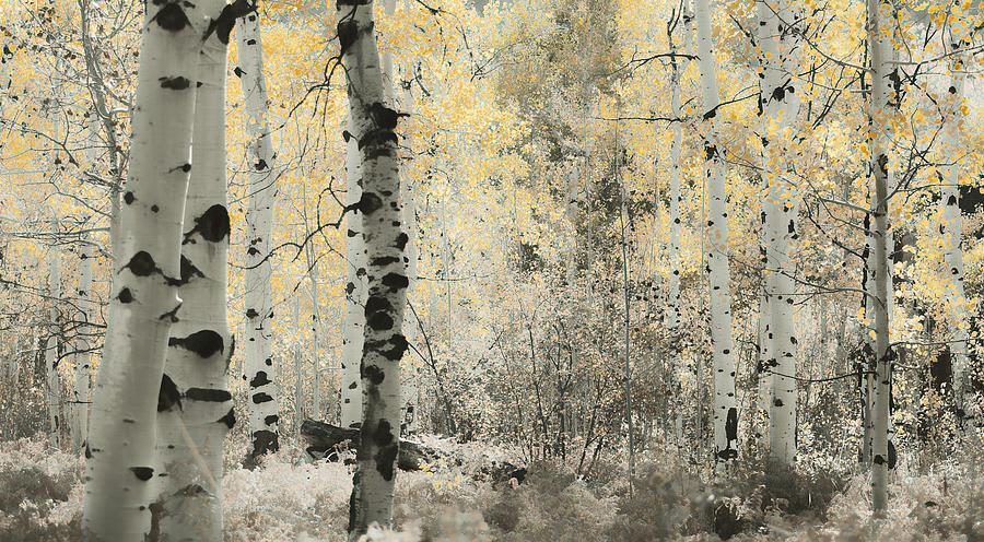 Aspens Photograph - A Wisp Of Gold by Don Schwartz