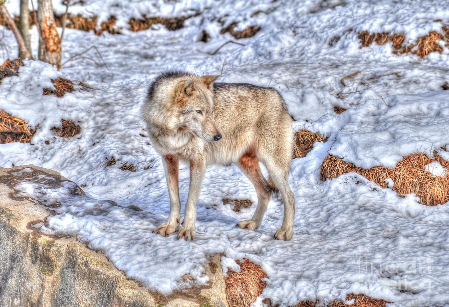 Wolf Photograph - A Wolf In Winter by Skye Ryan-Evans