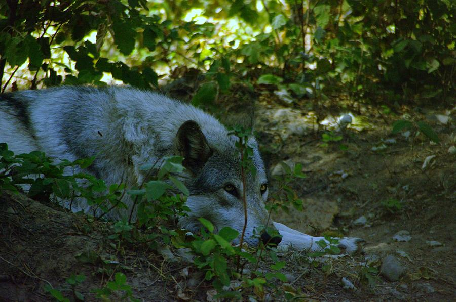 Wolf Photograph - A Wolf Naps by Jeff Swan