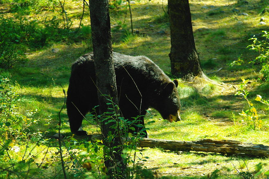 A Wondering Black Bear Waddling Along Photograph