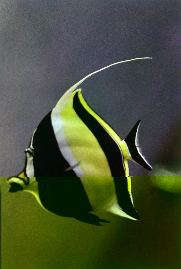 A Yellow, Black, And White Kihikini Fish Photograph by Horst P. Horst