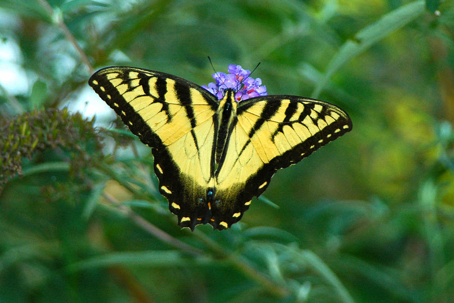 A Yellow Butterfly Photograph by Raymond Salani III