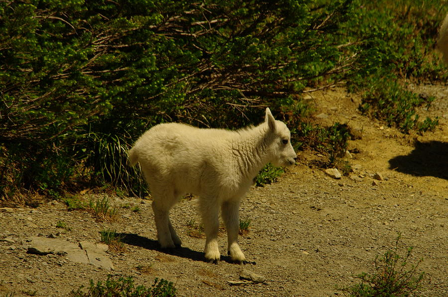 Mountain Goats Photograph - A Young Mountain Goat by Jeff Swan