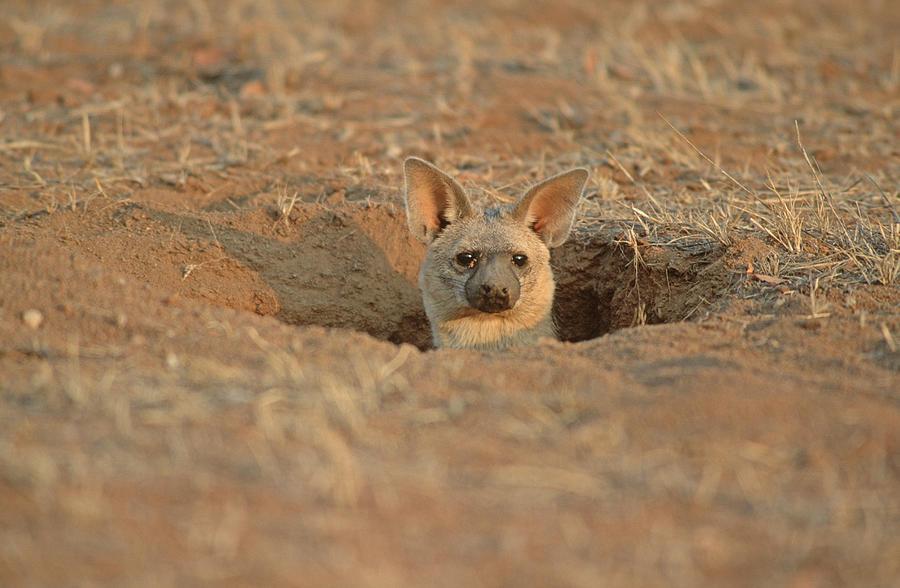 Aardwolf At Den. Damaraland District, Namibia Photograph by Daryl Balfour