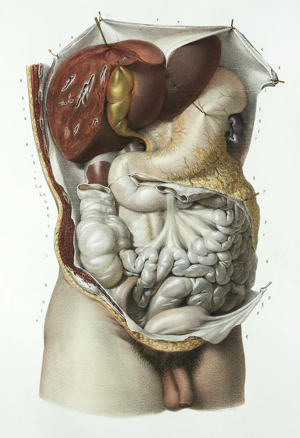 Abdominal Organs Photograph By Science Photo Library