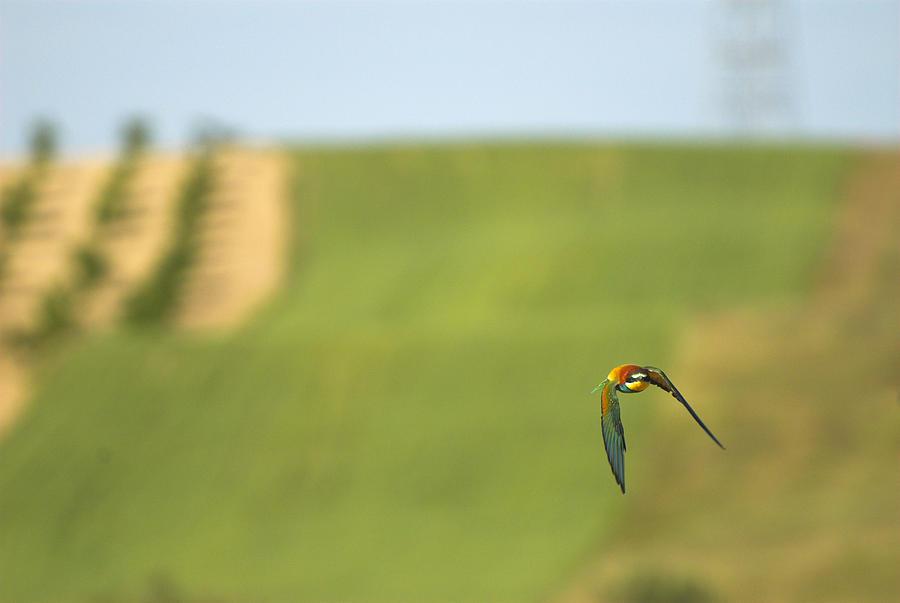 Birds Photograph - Abejaruco En Vuelo by Guido Montanes Castillo