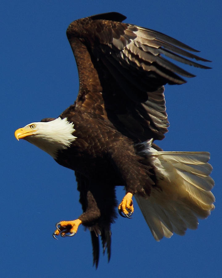 Bald Eagle Photograph - Aborted Landing by Randy Hall