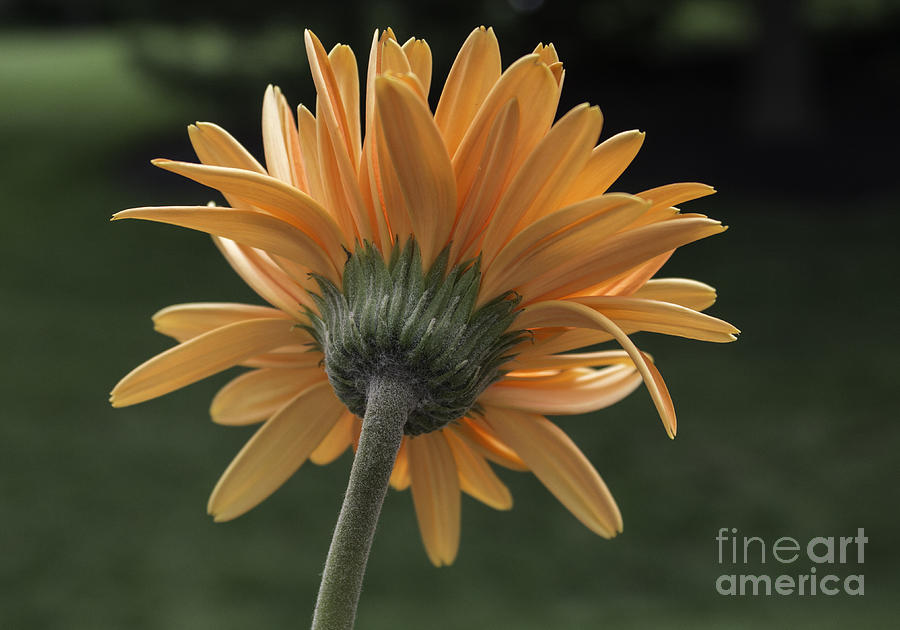 Daisy Photograph - About Face by Arlene Carmel