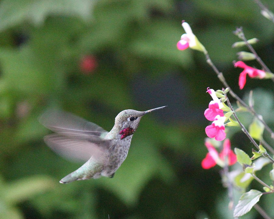 Hummingbird Photograph - About To Sip by Marv Russell