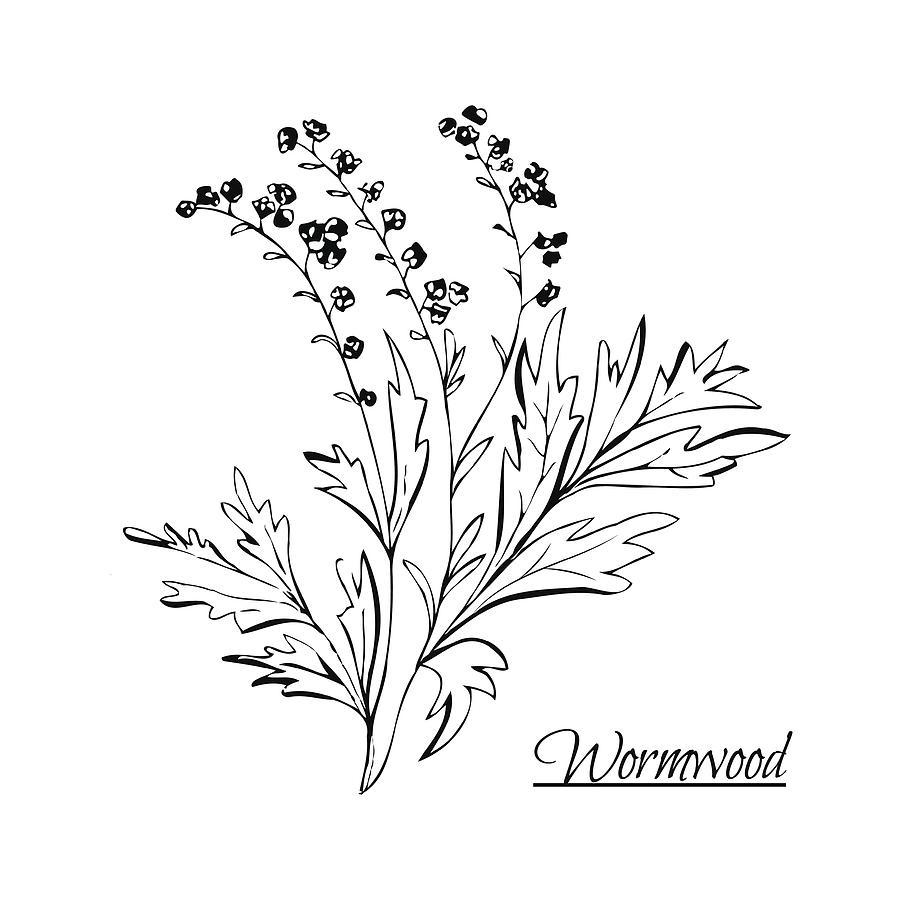 Absinthe Ingredients Fresh Grand Wormwood Artemisia Absinthium Hand Draw