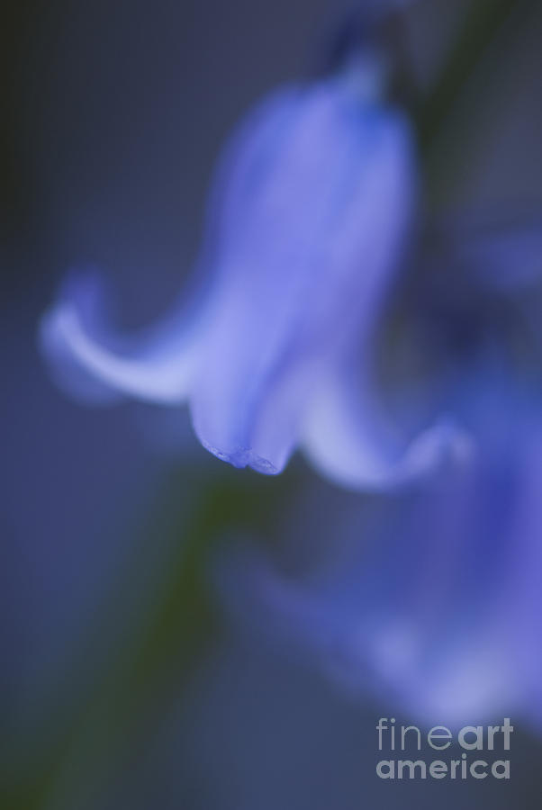 Bloom Photograph - Abstract Bluebell by Anne Gilbert